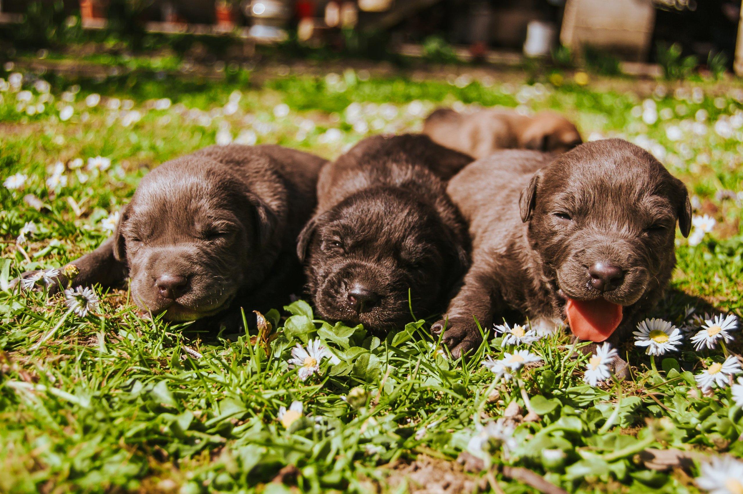 three brown coated puppies 2145878 scaled - Como é trabalho de parto nas Fêmeas Caninas?